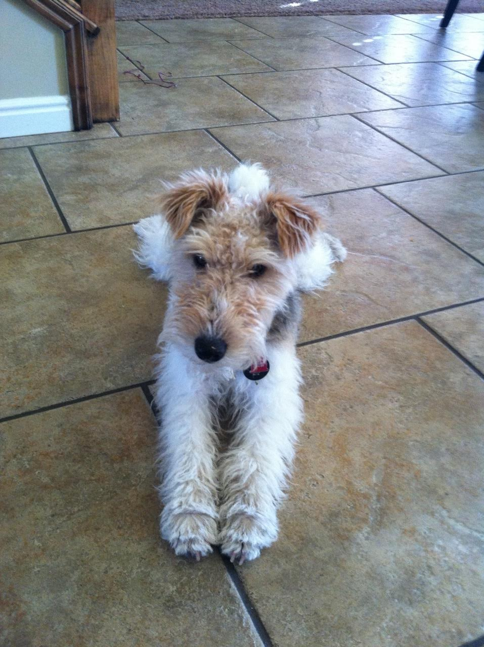 wire fox terrier haircut wire fox terrier haircut wire fox terrier haircut wire fox 5700